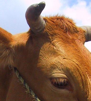牛追いまつり